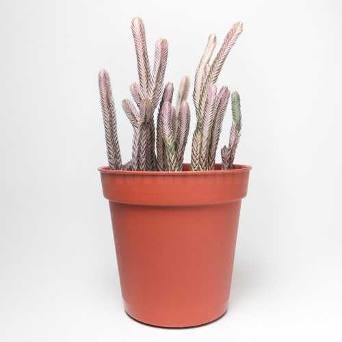 Крассула Плауновидная Пестролистная - Crassula Muscosa Variegata - Все для флорариума