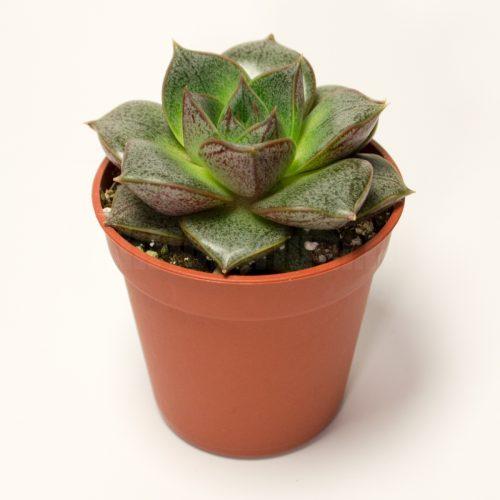 Echeveria Purpusorum
