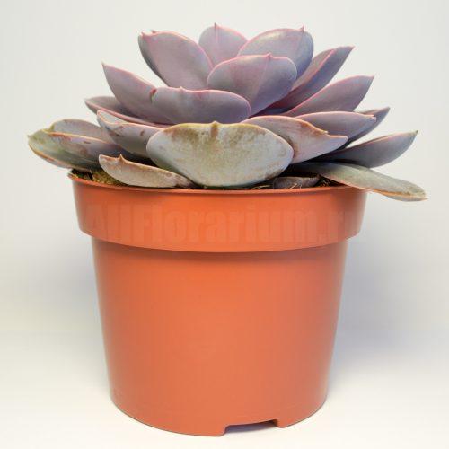 Эхеверия Парпл Перл - Echeveria Purple Pearl