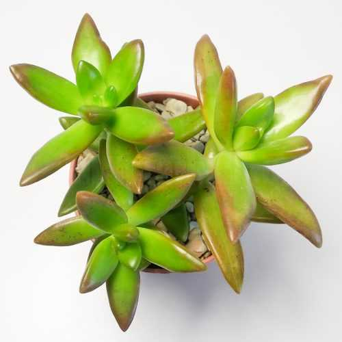 Седум Нуссбумера - Sedum Nussbaumerianum - Все для флорариума