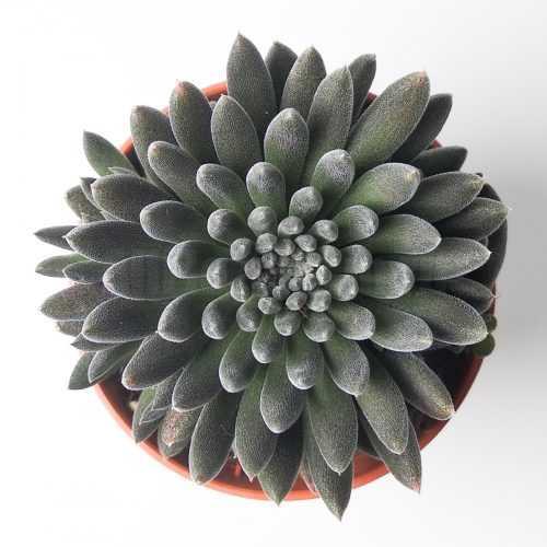 Синокрассула Юннаньская - Sinocrassula Yunnanensis