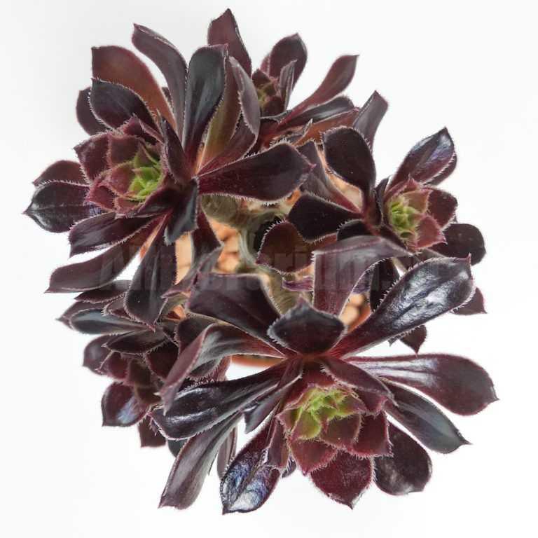 Эониум древовидный Атропурпуреум - Aeonium arboreum Atropurpureum - Все для флорариума