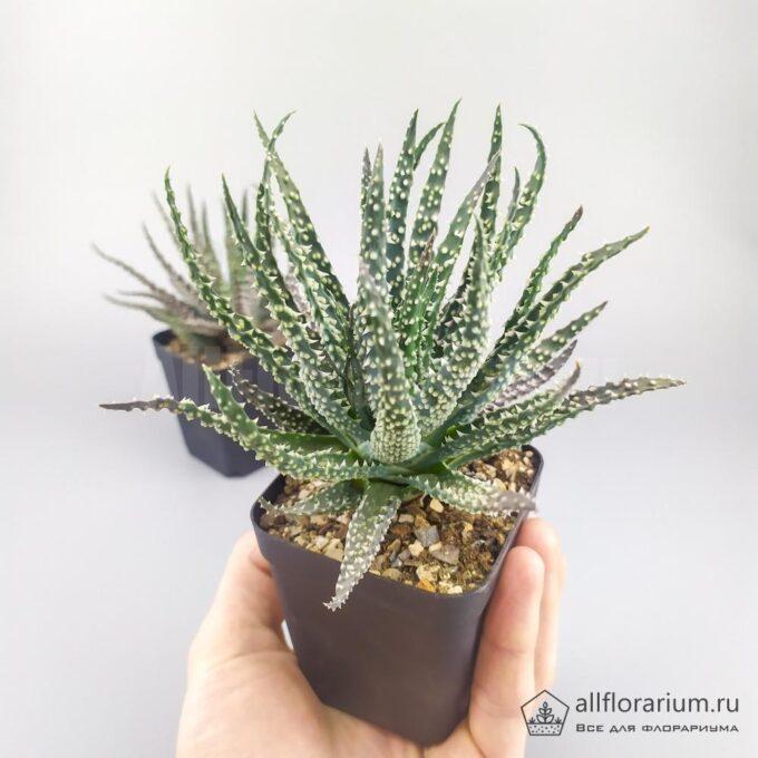 Алоэ Хумилис - Aloe Humilis