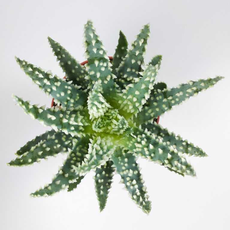 Алоэ Хумилис - Aloe Humilis - Все для флорариума