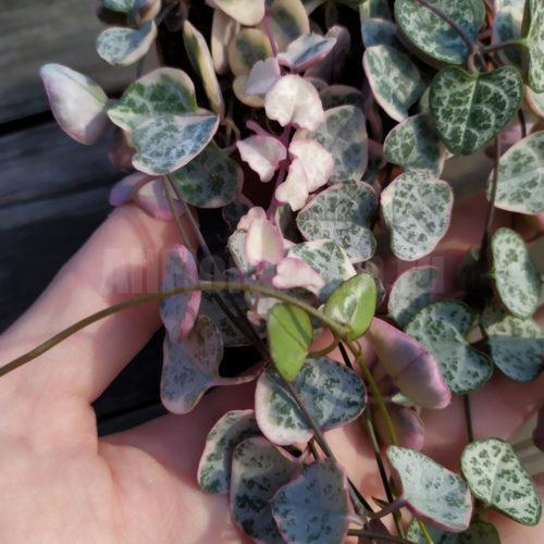 Церопегия Вуда Пестролистная - Ceropegia woodii variegata