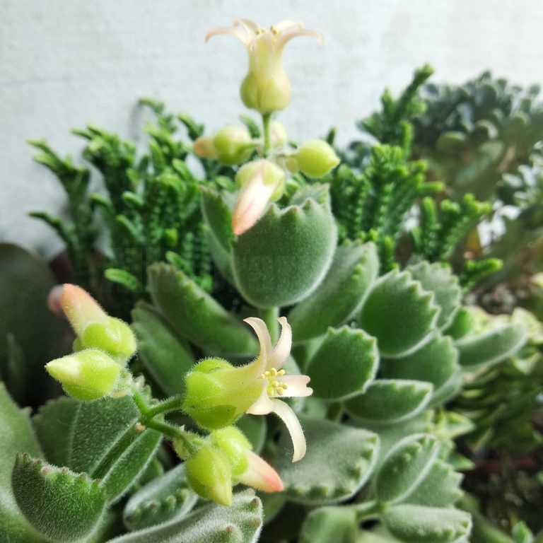 Котиледон Томентоза - Cotyledon Tomentosa - Все для флорариума