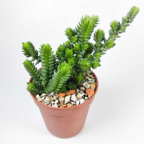 Крассула Пурпуза - Crassula Ericoides