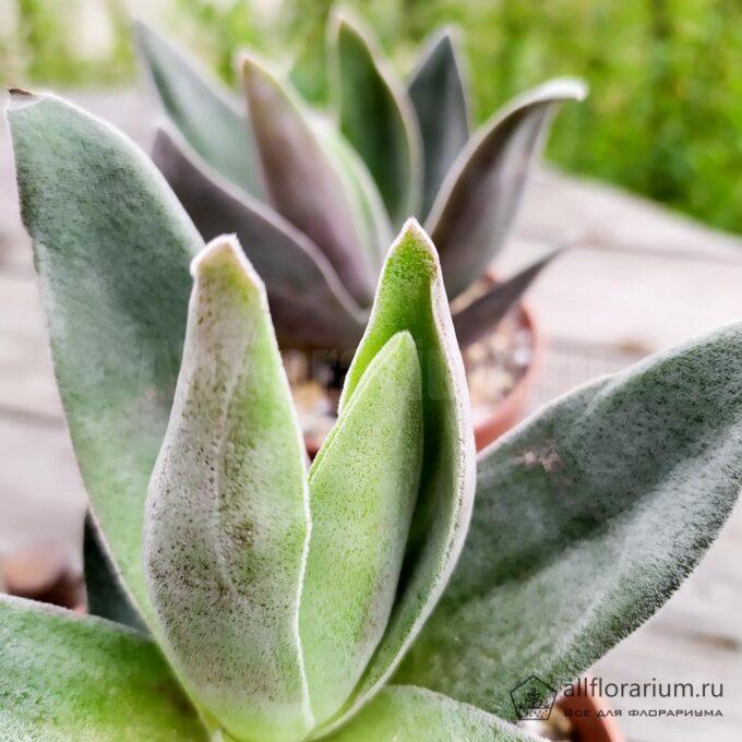 Крассула Гранатовый Лотос - Crassula Garnet Lotus