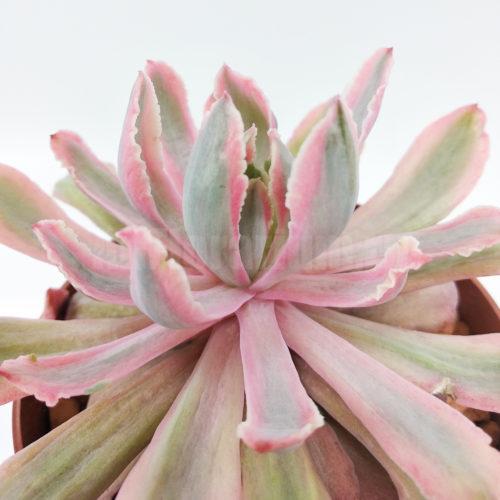 Echeveria holwayi zahnii variegata - Все для флорариума