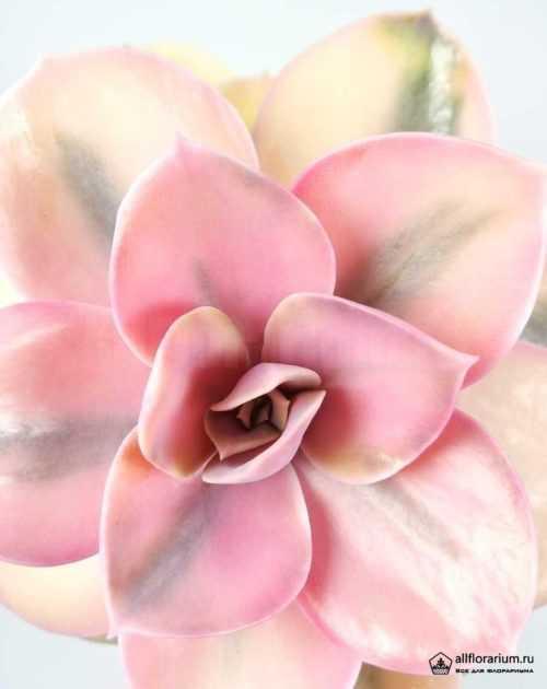 Эхеверия Радуга - Echeveria Rainbow - Все для флорариума