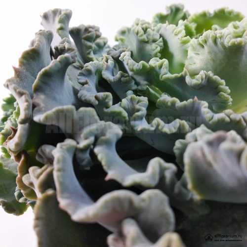 Эхеверия Шавиана Трюфельная - Echeveria Shaviana Truffles - Все для флорариума