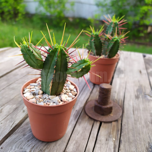 Эуфорбия Энопла - Euphorbia enopla