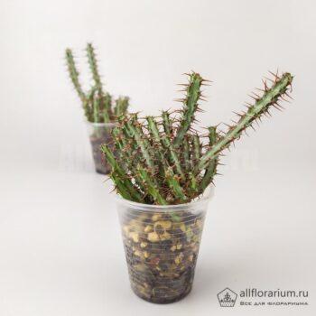 Euphorbia aeruginosa - Эуфорбия Эругиноза