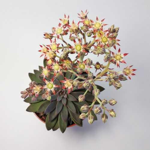 Цветение Граптопеталум Расби - Graptopetalum Rusbyi - Эхеверия Расби - Все для флорариума