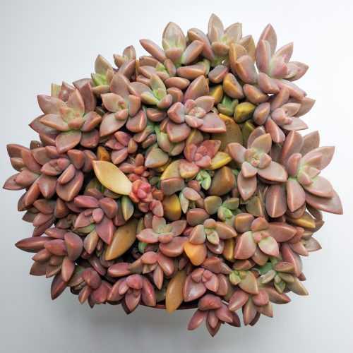 Граптоседум Бронз - Graptosedum Bronze - Все для флорариума