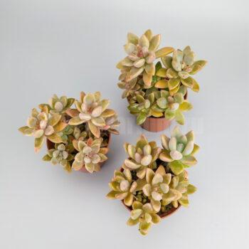 Граптоседум Франческо Балди – Graptosedum Francesco Baldi