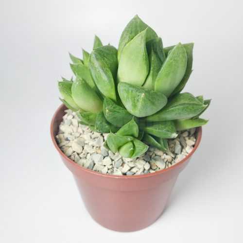 Хавортия Ладьевидная - Haworthia Cymbiformis - Все для флорариума