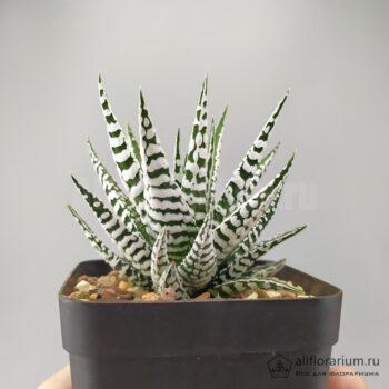 Haworthia Fasciata Alba