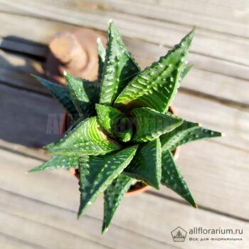 Хавортия Лимифолия - Haworthia limifolia