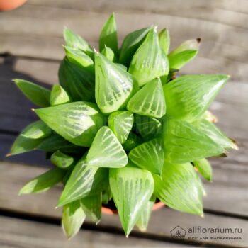 Хавортия мирабилис - Haworthia mirabilis