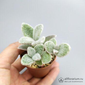 Kalanchoe eriophylla - Каланхоэ Эриофилла