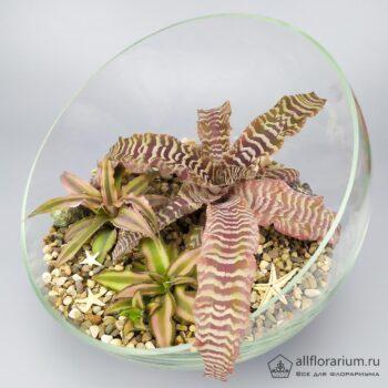 Композиция с криптантусами флорариум