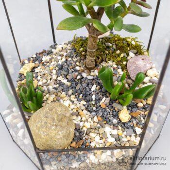 Крассула под куполом флорариум