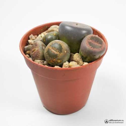 Литопс Живые Камни - Lithops aucampiae – Living Stones - Все для флорариума