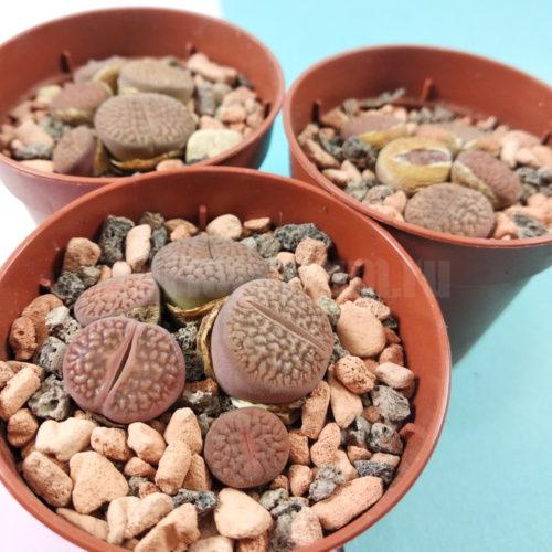 Литопс Хукера - Lithops turbiniformis - Живые Камни