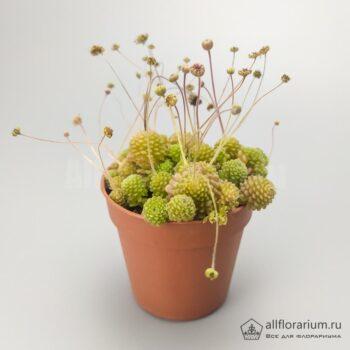 Монантес полифилла - Monanthes polyphylla