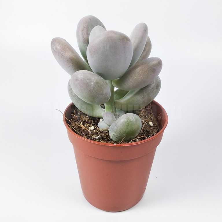 Пахифитум Брактеосум - Pachyphytum Bracteosum - Все для флорариума