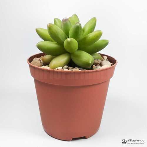 Пахифитум Компактум - Pachyphytum Compactum - Все для флорариума