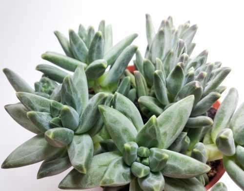 Пахифитум Компактум Глаукум- Pachyphytum Compactum Glaucum - Все для флорариума