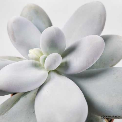 Пахифитум Овиферум - Pachyphytum Oviferum - Все для флорариума