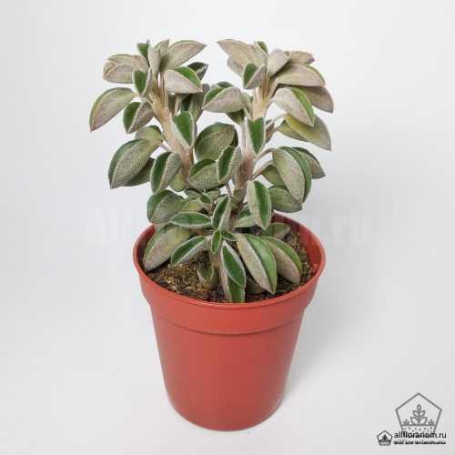 Пеперомия Асперула - Peperomia Asperula - Все для флорариума