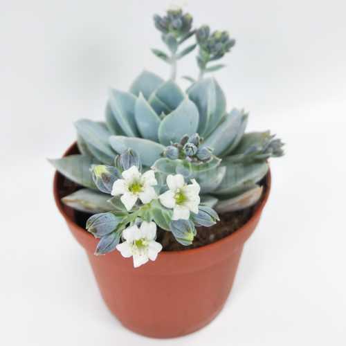 Седеверия Голубой Лотос - Sedeveria Blue Lotus