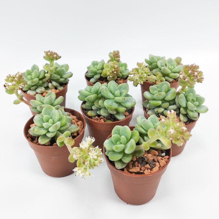 Седум клаватум - Sedum clavatum (clavifolium) - Все для флорариума