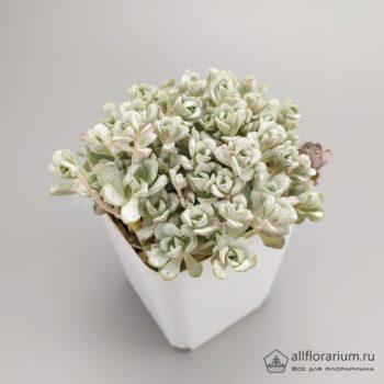 Sedum spathulifolium Cape Blanco - Седум Кейп Бланко