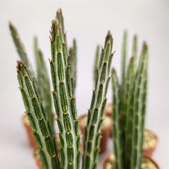 Крестовник стапелевидный - Senecio stapeliformis - Kleinia stapeliiformis