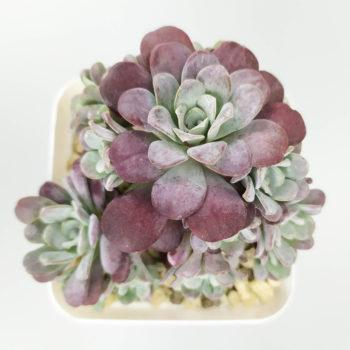 Sedum spathulifolium 'Purpureum' – Седум Пурпуреум
